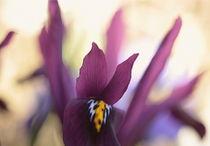 Irisblüte von Johanna Leithäuser