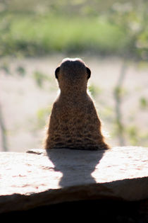 Meerkat calls it a day by Jörg Sobottka