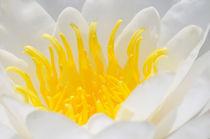 Seerose weiß und gelb  by Matthias Hauser