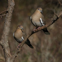 In Sync (White-winged Doves)