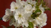 Kirschblüten von lucylaube