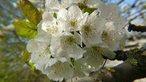 Kirschblüte von lucylaube