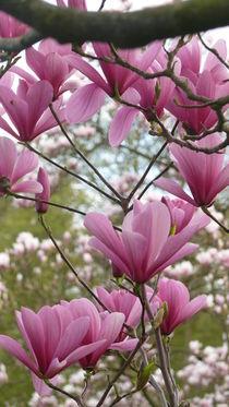 Magnolienblüten von lucylaube