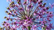 Zierlauchblüte von lucylaube
