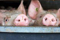 Pigs von war-bryde