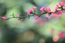 Wild apple blossom background von 7horses
