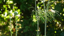 Mohn und Dill by lucylaube