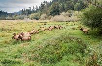 Leader Of The Elk Herd by John Bailey