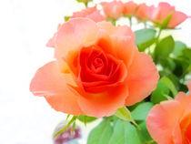 Single pink rose by Robert Gipson