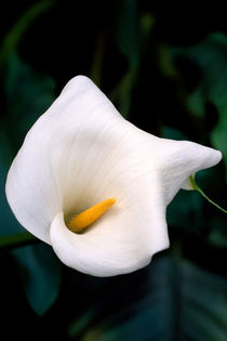Zantedeschia 734 by Patrick O'Leary