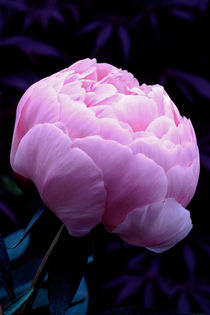 Pink Peony 736 by Patrick O'Leary