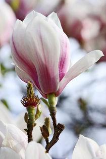 springtime! ... magnolia by meleah