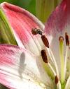 Bee-pistil