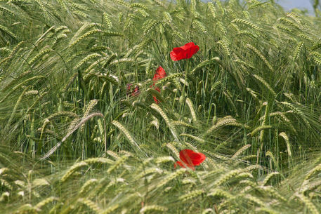 Poppies-wheat