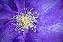 Clematis Dramatis by Jon Woodhams