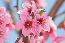 Peach-flowers
