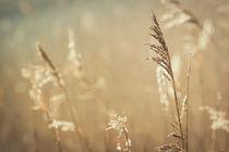 Gräser im Licht der Morgensonne von Beate Zoellner
