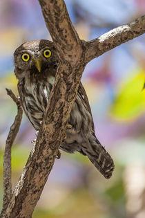 Costa-rican-pygmy-owl-592