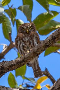 Costa-rican-pygmy-owl-617