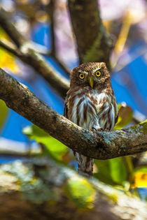 Costa-rican-pygmy-owl-624