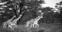 Giraffen auf Wanderschaft s/w von Andrea  Hergersberg