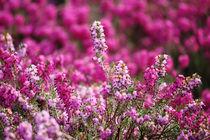 springtime! ... pink, pinker, pinkest V by meleah