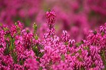 springtime! ... pink, pinker, pinkest I von meleah