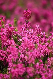 springtime! ... pink, pinker, pinkest II by meleah