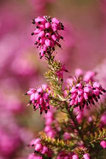 springtime! ... pink, pinker, pinkest IV by meleah