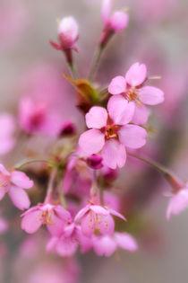 Cherry Blossom by David Tinsley