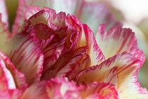 Carnation by David Pringle