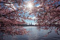 Cherry Blossom II by Simone Jahnke
