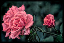 Pink Rose. by Becky Dix