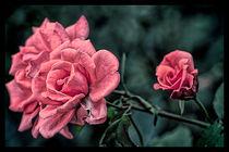 Pink Rose. von Becky Dix