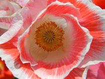 Poppy. von Becky Dix