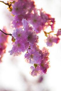Kirschbüte im Frühling Hochformat von Dennis Stracke