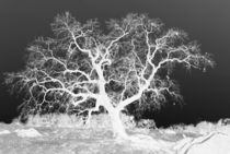 Lone Tree in Black and White by Sally White
