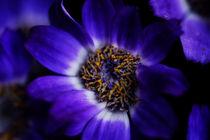 violet flower by emanuele molinari
