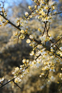 Schlehenblüten 2 von framboise