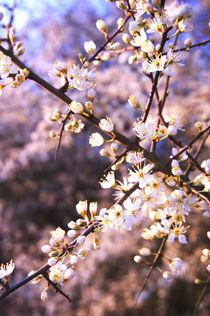 Schlehenblüten von framboise