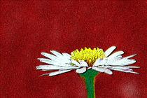 Plastiniertes Gänseblümchen by ndsh