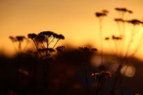 Blüten im Sonnenuntergang von fabinator