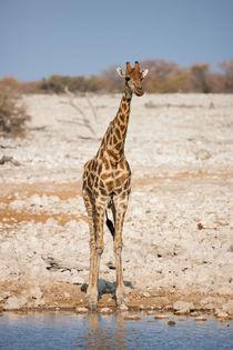 The Namibian Giraffe at a waterhole in Etosha National Park  von Matilde Simas