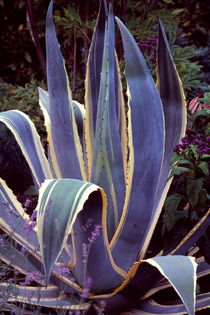 Agave 741 von Patrick O'Leary