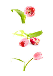 tulips by Les Mcluckie