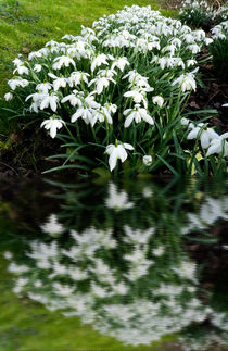 Snowdrops in reflection by Robert Gipson