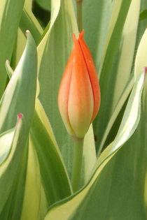 Tulpenblüte by lorenzo-fp