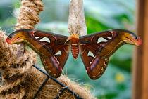 Atlas Seidenspinner - Exotische Schmetterlinge von MaBu Photography
