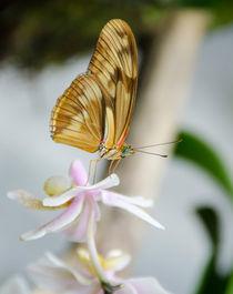 Schmetterling auf weißer Blüte by MaBu Photography