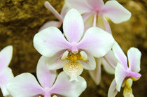 Weiße Orchideen by MaBu Photography